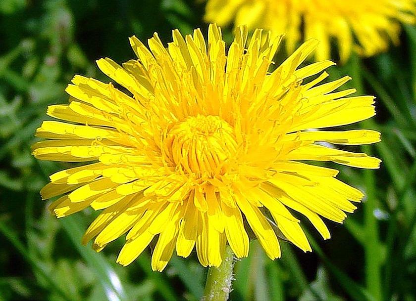 Image to the word одуванчик,  Pictures gallery of Zinkod, цветы,одуванчик,природа,, Одуванчик-это многолетнее растение семейства астровые  Латинское название одуванчика TARAXACUM, что в переводе означает лекарственный и он как никто другой подтверждает это