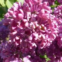zingi gallery галерея pictures сирень, цветы, весна