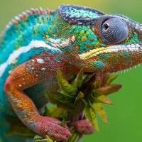 zingi хамелеон chameleon