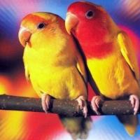 zingi gallery галерея pictures попугай,птица,неразлучник,